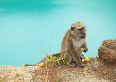 Monkey on edge of lake Tin on Kelimutu eating cookie Royalty Free Stock Images
