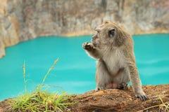 Monkey on edge of lake Tin on Kelimutu eating royalty free stock photos