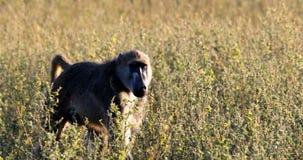 Monkey el babuino de Chacma en el arbusto, fauna del safari de Namibia África almacen de video