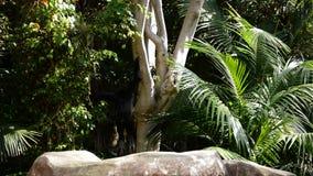 Monkey el gibón cheeked amarillo que salta en un árbol almacen de metraje de vídeo
