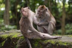 Monkey el varón y a la hembra en un bosque cerca de Ubud, Bali Imagen de archivo libre de regalías