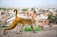 Monkey em um fundo do Jaipur, templo de Galta na Índia imagens de stock royalty free