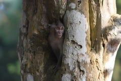 Monkey em um furo em uma árvore, perto do templo de Bayon Fotografia de Stock Royalty Free