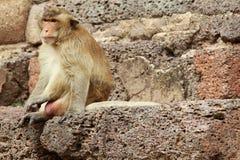 Monkey en el lopburi Tailandia del yod de Sam del prang de Phra Fotografía de archivo