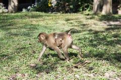 Monkey en el parque nacional de Khao Yai, Tailandia Fotos de archivo