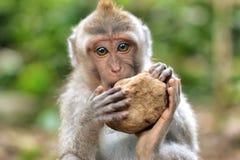 Monkey en el ubud que intenta comer una piedra Foto de archivo