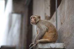 Monkey en la ciudad que se sienta en el cristal de ventana Foto de archivo