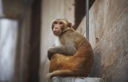 Monkey en la ciudad que se sienta en la ventana Imagen de archivo libre de regalías
