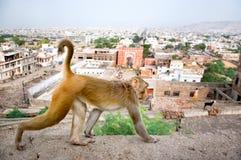 Monkey en un fondo de la Jaipur, templo de Galta en la India Imágenes de archivo libres de regalías