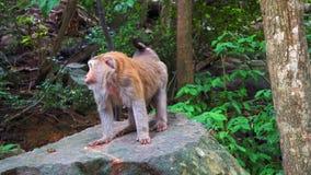 Monkey en una roca en el bosque tropical de Asia montaña de los monos, animales sagrados almacen de video