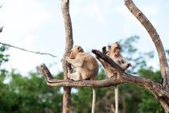 Monkey esperar y la mirada de la comida robada de la ocasión en una isla del mar de andaman, Tailandia Isla de Lipe Foto de archivo libre de regalías