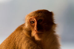 Monkey. In the evening light stock photography