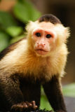 Monkey expression in his eyes ,Amazon in Colombia Royalty Free Stock Photography