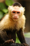 Monkey expression in his eyes ,Amazon in Colombia Royalty Free Stock Image