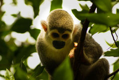 Monkey expression in his eyes ,Amazon in Colombia Stock Photo