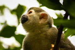 Monkey expression in his eyes ,Amazon in Colombia Stock Images