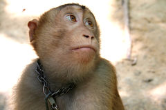 Monkey eyes. Monkey gazing with big eyes Royalty Free Stock Photo