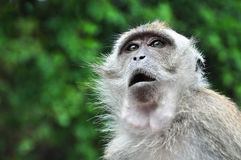 Monkey with Eyes and Mouth Open Wide Royalty Free Stock Photography