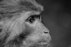 Monkey. A monkey eyes resolute look into the distance stock image