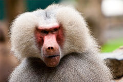 Monkey face. Baboon monkey face seen in closeup stock photography