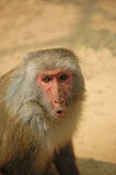 Monkey Face. Is a very naughty monkey primates Royalty Free Stock Photography