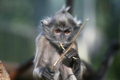 Monkey face. Photo of a small monkey chewing on a branch Stock Photography