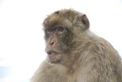 Monkey face Stock Image