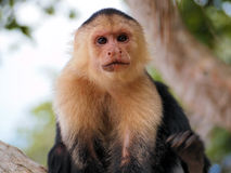 Monkey face Stock Photography