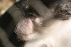 A monkey face Royalty Free Stock Photos