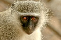 Monkey face. Silver monkey face with big eyes Royalty Free Stock Photography