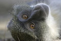 Monkey Face Stock Images