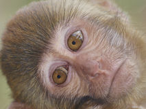 Monkey face. Young monkey in Nepalese temple, Nepal Stock Photo