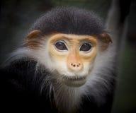 Monkey face on black background. stock photos