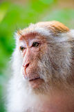 Monkey face close-up on nature Royalty Free Stock Photos