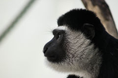 Monkey. Face of a cute monkey Royalty Free Stock Photo