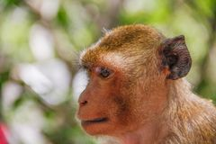 Monkey face and head. In garden zoo stock image