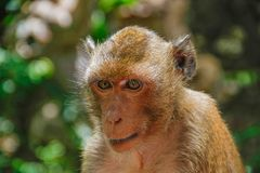 Monkey face and head. In garden zoo royalty free stock photos
