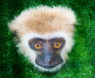 Monkey face, the mammal primate in exhibition Stock Images