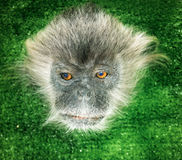 Monkey face, the mammal primate in exhibition Royalty Free Stock Photos