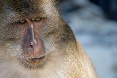 Monkey face royalty free stock photos