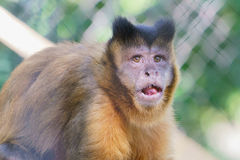 Monkey face. A monkey face with a slight upturned mouth and eyes looking away from the field of view. There`s a confused or contemplative look or emotive emotion Stock Photo