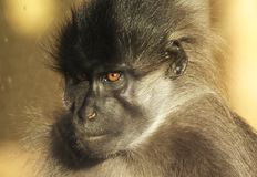 Monkey face whit orange eyes royalty free stock photos