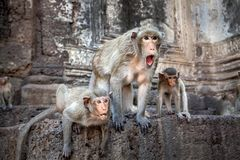 Monkey familery action. royalty free stock images
