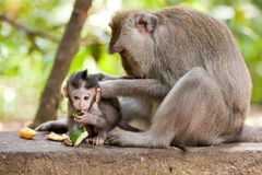 Monkey family. Cute little babymonkey being groomed by mom while eating Stock Photo