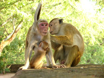 Monkey family. The common days of monkey family Stock Images