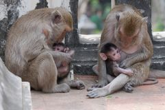 Monkey family. Royalty Free Stock Photography
