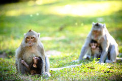 Monkey Family Stock Photos