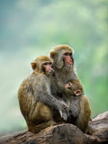A monkey family. This is a family of monkeys Stock Images