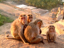 Monkey family. A monkey family gathered on a rock near temple, hampi, india Royalty Free Stock Image