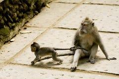 Monkey family Royalty Free Stock Images